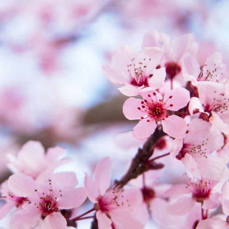 Ikigai kirsikkapuu